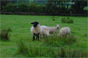 Safe Use of Veterinary Medicines (Sheep) - ONLINE