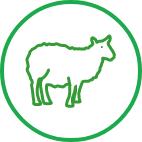 Sheep Vet services