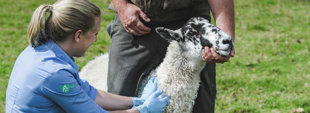 Sheep Vets Devon